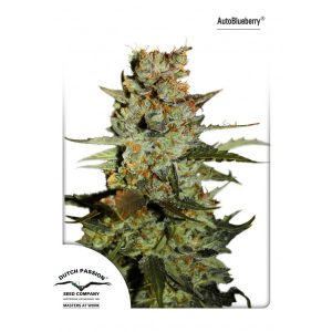 AutoBlueberry-Dutch-Passion-600x600 (1)