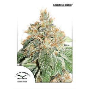AutoColorado-Cookies-Dutch-Passion-600x600-600x600