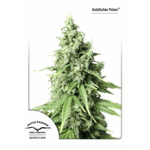 AutoDurban-Poison-Dutch-Passion-600x600-600x600