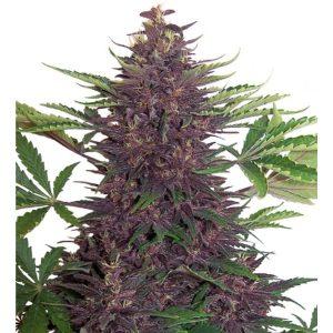Buddha_Purple_Kush_01-600x600