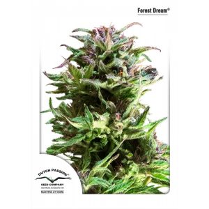 Forest-Dream-Dutch-Passion (1)-600x600-600x600