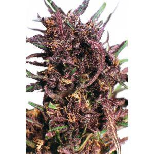 Purple-2012-600x600-600x600