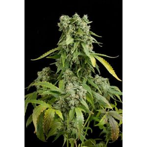 blue-cheese-autoflowering-600x600