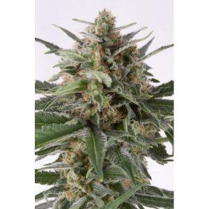 critical-autoflowering-600x600