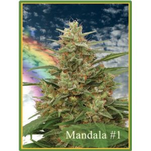 Mandala #1 Regular - Mandala seeds