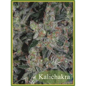 Kalichakra Regular - Mandala seeds