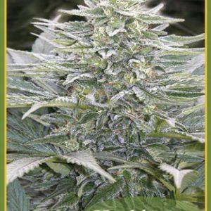 Hashberry Regular - Mandala seeds