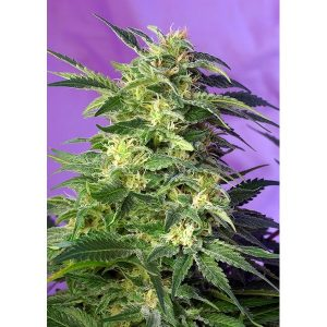 KILLERKUSH_AUTO_SWS56-600x600