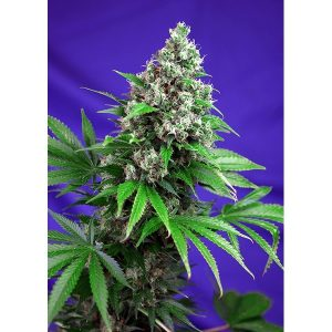 KILLERKUSH_F1FV_SWS52-600x600