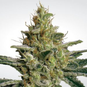 Allkush - Paradise seeds
