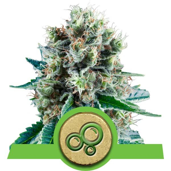 bubble kush automatic royal queen
