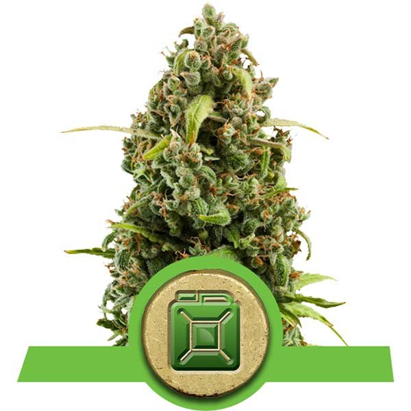 diesel automatic royal queen seeds new york city diesel