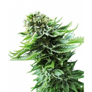 northern-lights-autoflowering-photo-600x600