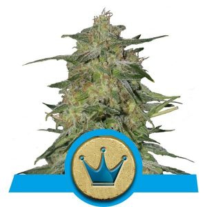 royal highness royal queen seeds