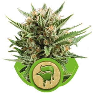 sweet skunk automatic royal queen