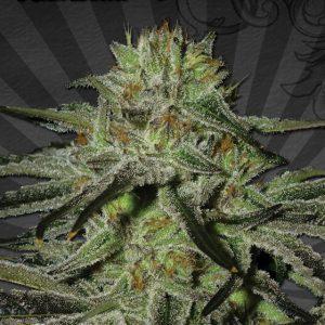 kush-doctor-autoflowering-seeds