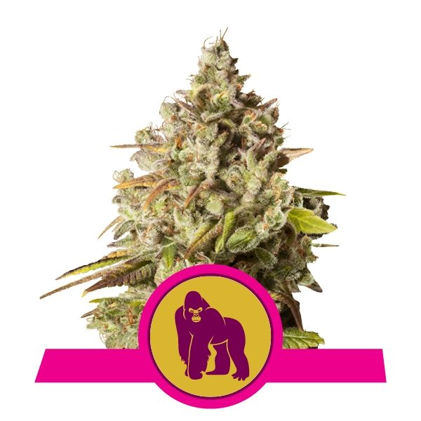 royal gorilla royal queen seeds semena