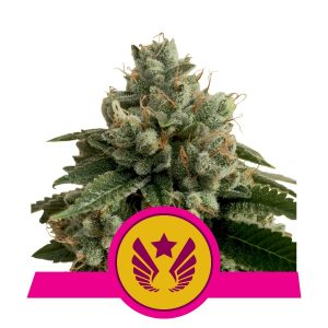 legendary punch royal queen seeds legend og purple punch