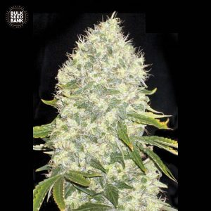 white widow bulk seedbank