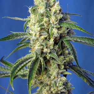 Green Poison CBD – SWEET SEEDS