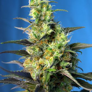 Ice Cool CBD – SWEET SEEDS