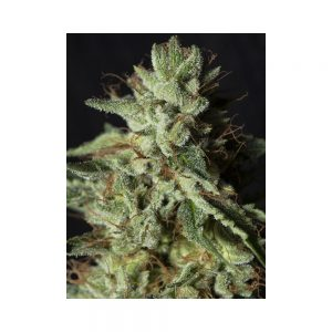 Gorilla Candy - Eva Seeds
