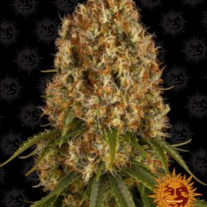 Orange Sherbert - Barney´s Farm