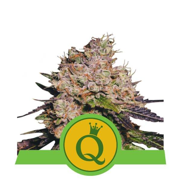 Purple Queen Automatic - Royal Queen