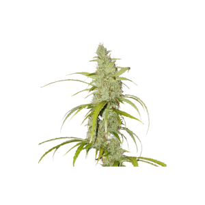 Auto Creeper - Super Sativa Seed Club