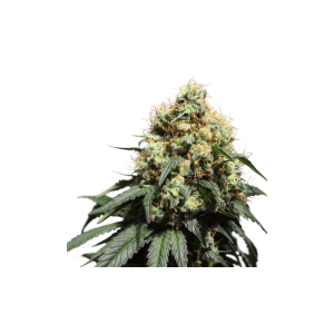 Bruce Lemon Diesel - Super Sativa Seed Club