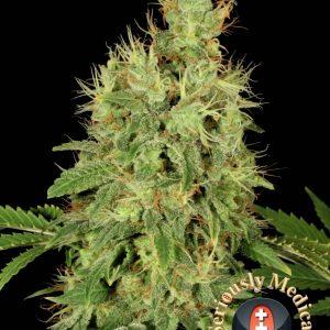 CBD Chronic - Serious Seeds
