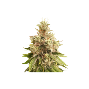 Golden Apple Haze Regular - SSSC