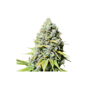 Kosher Haze - Super Sativa Seed Bank