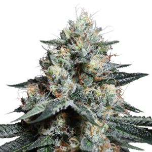 Lava Freeze - Super Sativa Seed Club