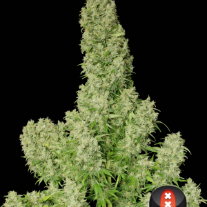 White Russian - Serious Seeds